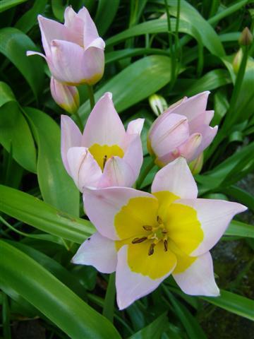 Plant Collector: Tulipa saxatilis