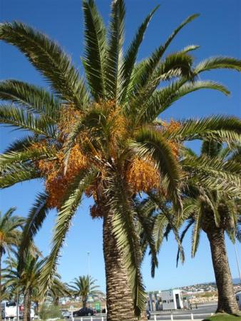 The ubiquitous date palm was everywhere in the south of Spain and Portugal