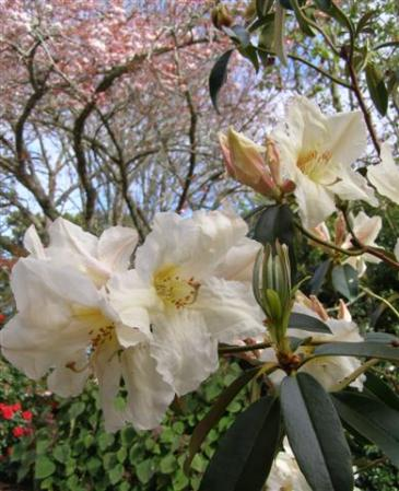Rhododendron polyandrum - big and very fragrant