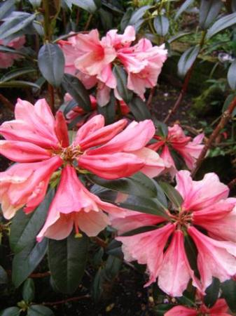 Rhododendron Bernice flowering this week