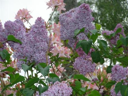 Even at 7.30am, the lilac flowers and adjacent apricot azalea are a delight this week in our driveway