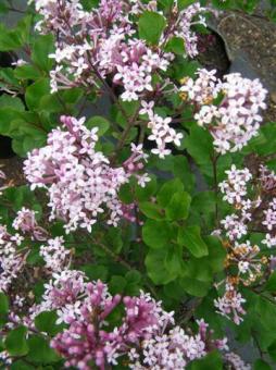 Syringia palibiniana - Korean lilac