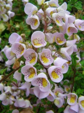 The little flower pouches of Jovellana punctata