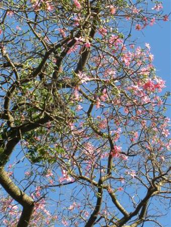 The exotic chorisia in the palace gardens at Seville