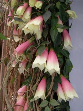 Pink and cream hanging bells of Tecomanthe montana