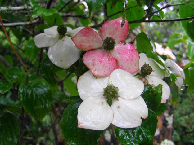 Pink and white all over - Cornus kousa var. chinensis