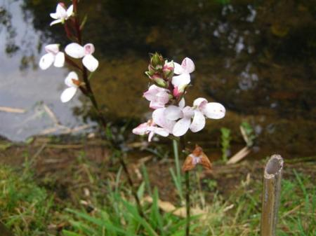 The little Disa tripetalata naturalising by the stream, we hope