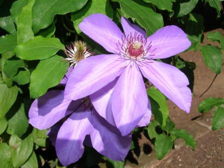 Clematis - pretty as a picture but junk those that are prone to mildew