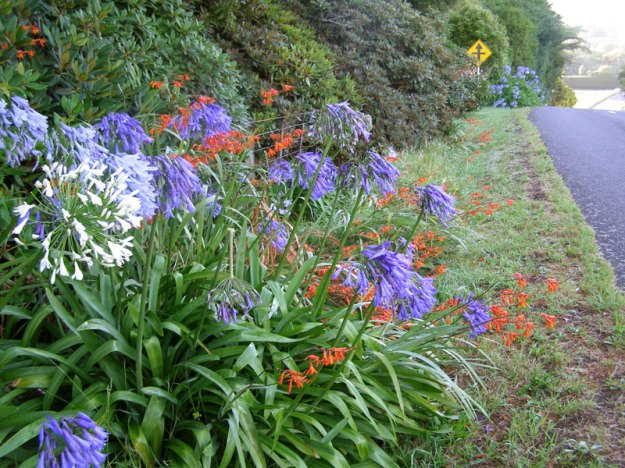 Agapanthus blue and white, and montbretia on our roadside