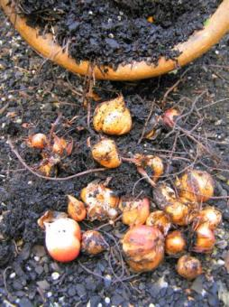 Dry bulbs can still be planted