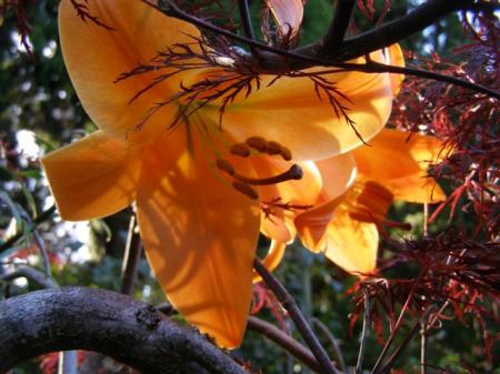 One of the trumpet hybrid lilies growing through a lacy, burgundy maple