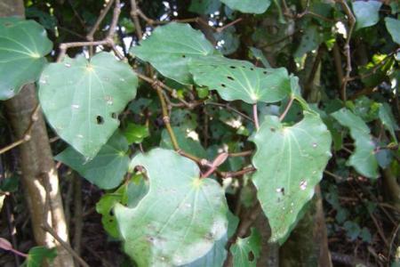 Self sown kawakawa showing typical shot holes in the leaf