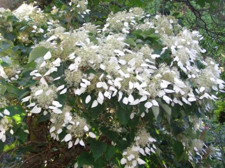 The froth of Schizophragma hydrangeoides in flower