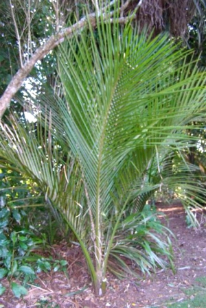 Too much of a good thing - self sown nikau palms.