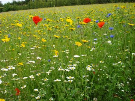 A field of flowers in its first season