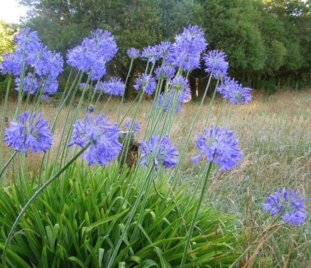Our summer roadsides would be the poorer without agapanthus