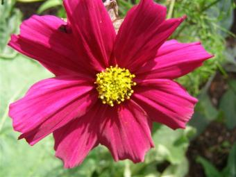 Food for the butterflies - a rather garish cosmos