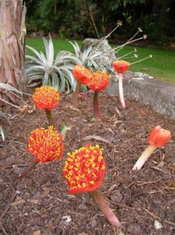 Haemanthus coccineus - usually seen more as a foliage plant than a flowering one