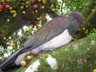 Our native wood pigeon or kereru in the Ficus antiarus