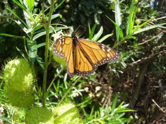 We are by no means alone in our dedication to assisting the procreation of monarch butterflies