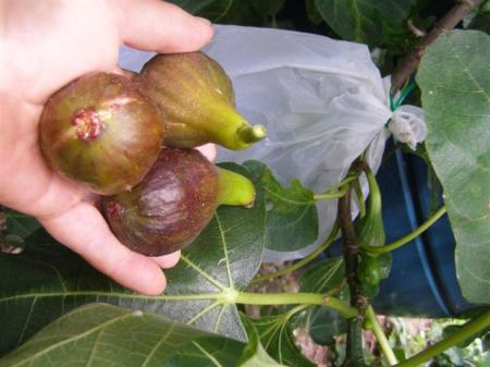 It takes a bit of effort to outwit the birds but the resulting fig harvest makes it worthwhile