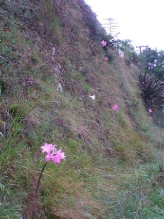Belladonnas naturalised on a vertical road cutting