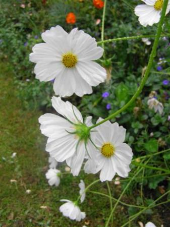 Simple flowers like this white cosmos look best in meadow-style gardening