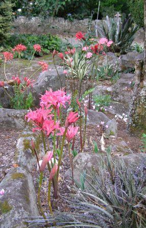 Nerines flowering in the rockery