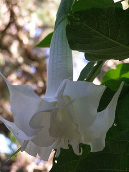 Double white brugmansia in flower this week