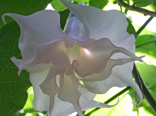 Double white brugmansia - huge, frilled white trumpets