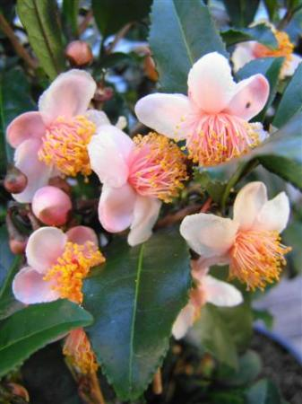 Grown to harvest for tea, rather than its floral display - Camellia sinensis