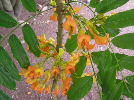 A mission requiring the tall extension ladder - gathering the Castanospermum australe flowers