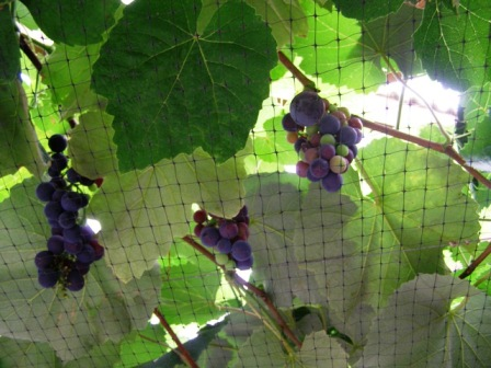 Cover grape vines urgently
