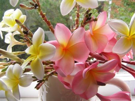 The intoxicating fragrance of frangipani (or plumeria)
