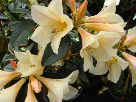 Rhododendron Felicity Fair