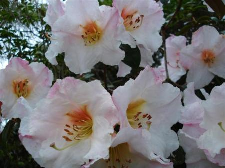 Rhododendron Floral Gift