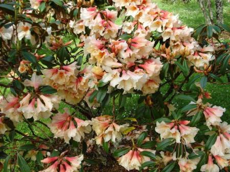 Rhododendron Katie