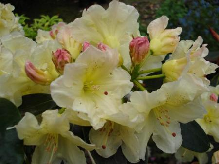 Rhododendron Meadow Lemon