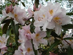 Rhododendron Platinum Ice
