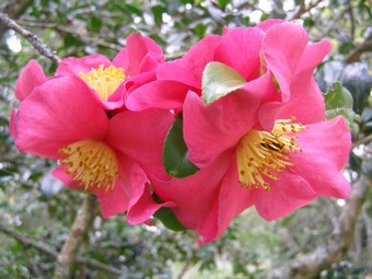 The first of the autumn camellias - sasanqua Crimson King