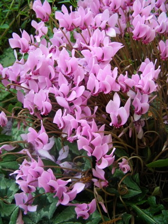 A somewhat over the top performance from just one Cyclamen hederafolium tuber, albeit a large and well established one