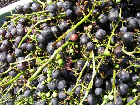 What to do with a surplus of grapes when home made wine does not appeal?