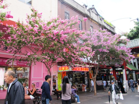 Crepe myrtles in Sydneys Chinatown