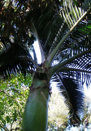 The handsome crown of the nikau palm