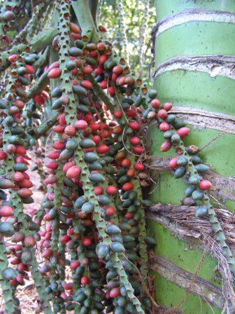 The ripening seed on the Pitt Island nikau palm