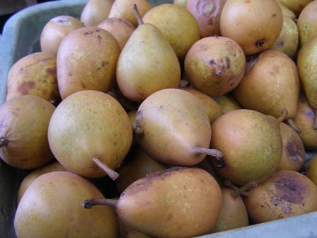 The crop of motley looking pears
