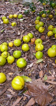 Feeling guilt at wasting the windfall chaenomeles