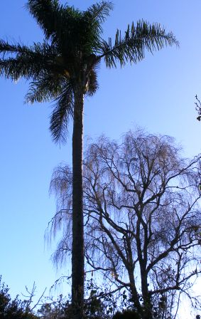 A favourite late autumn and winter scene here - the Queen Palm and silver birch set against the blue sky