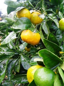 Arguably the most critical copper spray of the year on citrus now