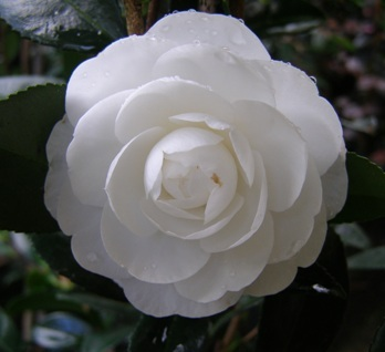 The lovely white sasanqua camellia Early Pearly